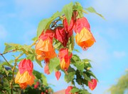 Tamborine Photos - Sun drenched bell flower by Kelly Nicodemus-Miller