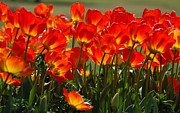 Orange Photos - Sun-Drenched Tulips by Suzanne Gaff