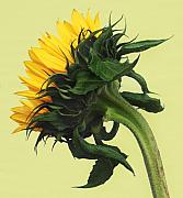 Still Life Photo Originals - Sun Flower by Terence Davis