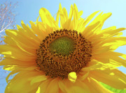 Sun Flowers Framed Prints - SUN FLOWERS Art SUNFLOWER Giclee Prints Baslee Troutman  Framed Print by Baslee Troutman Art Prints Collections