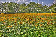 Old School House Digital Art - Sun Flowers by Nicholas  Grunas