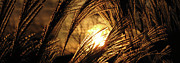 Sunset Prints - Sun in Grass panoramic Print by Amy Tyler
