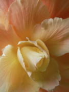 Begonia Photos - Sun Kissed Floral Begonia by Jennie Marie Schell