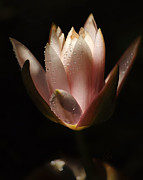 Water Lily Picture Prints - Sun Kissed Print by Kimberly Chason