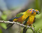 Feeding Birds Prints - Sun Parakeet Pair Feeding On Leaves Print by Tim Fitzharris