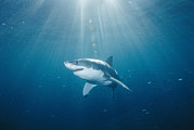 Carcharias Posters - Sun Rays Light The Path Of A Great Poster by Brian J. Skerry