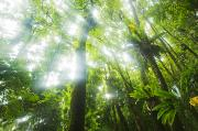Outdoor Canopy Posters - Sun rays through rainforest trees Poster by Quincy Dein - Printscapes
