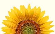 Sunflower Prints - Sun Rise Print by Richard Moiger