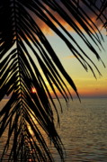 Palm Trees Fronds Posters - Sun setting over the sea seen through a silhouetted coconut palm frond Poster by Sami Sarkis