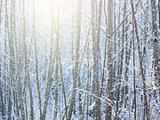 Brightly Lit Posters - Sun Shining Through Snowy Trees Poster by Ryan McVay