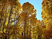 Sierra Prints - Sun Star Behind Sierra Nevada Aspen Trees Print by Scott McGuire