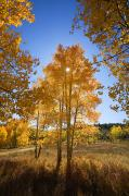 Northern Colorado Photo Prints - Sun Through Aspens Print by Ron Dahlquist - Printscapes