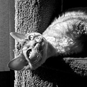 Canvas  Black And White Cat Photos - Sun Worship in Black and White by Glennis Siverson