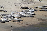 Elephant Seals Posters - Sunbathing Elephant Seals Along A Beach At Point Reyes California . 7D16063 Poster by Wingsdomain Art and Photography