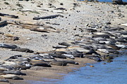 Elephant Seals Posters - Sunbathing Elephant Seals Along A Beach At Point Reyes California . 7D16065 Poster by Wingsdomain Art and Photography