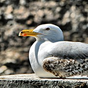 Still Life Art - Sunbathing gull by Massimiliano Bellisario