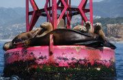 Sealions Prints - Sunbathing Sealions Print by Marc Bittan
