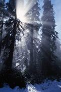 Foggy Day Prints - Sunbeams Through Pine Trees Print by Natural Selection Craig Tuttle