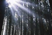 Selection Posters - Sunbeams Through Silhouetted Pine Trees Poster by Natural Selection Craig Tuttle