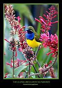 Fauna Framed Prints - Sunbird Framed Print by Holly Kempe