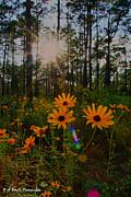 Barbara Bowen - Sunburst on Sunflowers
