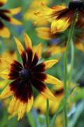 Linda Knorr Shafer - Sunburst Petals