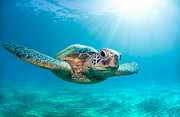 Light Blue Photos - Sunburst Sea Turtle by Monica and Michael Sweet
