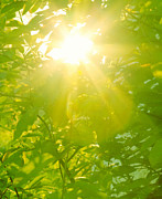 Brightly Lit Posters - Sunburst Through Spring Branches And Green Leaves Poster by Kathy Collins