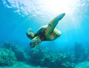 Green Sea Turtle Photos - Sunburst Turtle by Monica and Michael Sweet