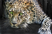 Golden Leopard Framed Prints - Sundari Framed Print by Big Cat Rescue