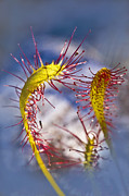 Wild Plant Photo Acrylic Prints - Sundew Group Acrylic Print by Heiko Koehrer-Wagner