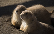 Prairie Dogs Prints - Sundown Print by Trish Tritz