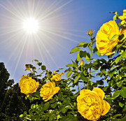 Sunflare Framed Prints - Sunflare and Yellow Roses Framed Print by Amber Flowers