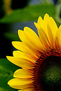 Floral Photographs Prints - Sunflower - 1 Print by Tam Graff