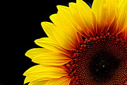 Floral Photographs Posters - Sunflower - 2 Poster by Tam Graff