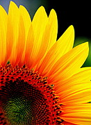 Floral Photographs Posters - Sunflower - 3 Poster by Tam Graff