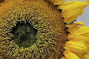 Daniel Ryan - Sunflower - Macro