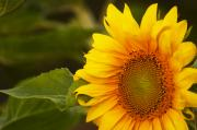 Late Originals - Sunflower-1 by Alexander Rozinov