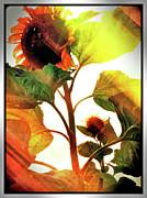 Kevyn Bashore - Sunflower 1