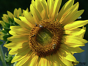 Sunflower 4 Print by EricaMaxine  Price