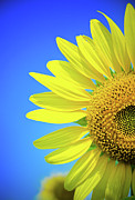 Stamen Photos - Sunflower Against Blue Sky by N. Umnajwannaphan
