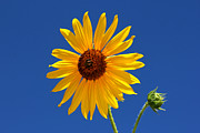Nature Center Posters - Sunflower Against Blue Sky Poster by Tracie Kaska