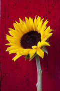 Petal Posters - Sunflower against red wooden wall Poster by Garry Gay