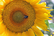 Collects Photo Framed Prints - Sunflower and a bumblebee Framed Print by Aleksandr Volkov