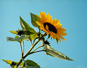 Splashy Art Metal Prints - Sunflower and blue sky Metal Print by Marcio Faustino