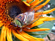Sunflowers Art - Sunflower and Insect  by Jon Baldwin  Art