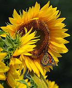 Buttonwood Farm Photo Posters - Sunflower and Monarch 3 Poster by Edward Sobuta