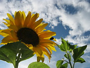 Sonnenblume Prints - Sunflower and Sky Print by Eknow Key