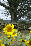 Buttonwood Farm Posters - Sunflower and Stonewall Poster by Jason Sawicki