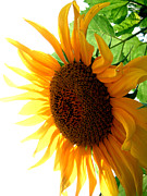 Jon Baldwin Art Art - Sunflower Angle  by Jon Baldwin  Art